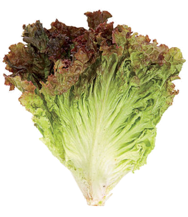 red-leaf-lettuce80_transp